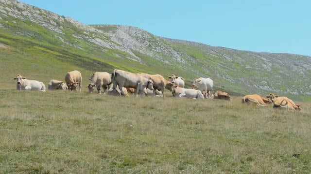 Cows Grazing In The Mountains: Stock Video