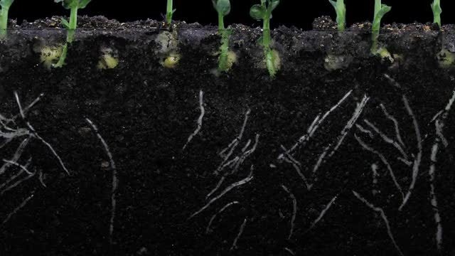Pea Plants And Roots Grow: Stock Video
