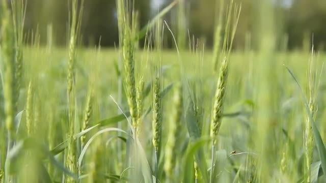 Green Field Of Wheat: Stock Video