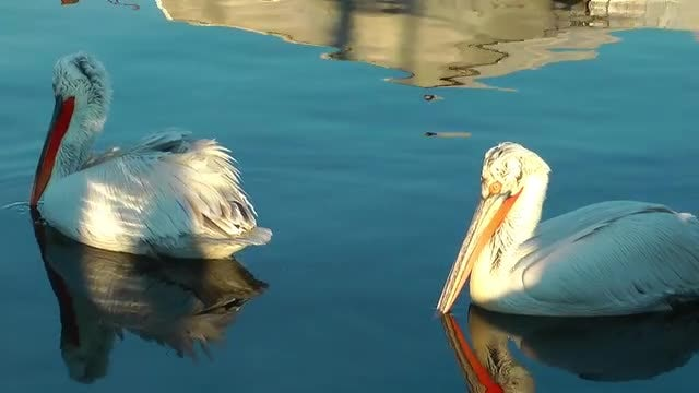 Two Pelicans Swimming In Ocean: Stock Video