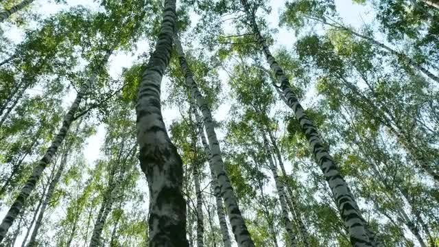 Low-angle Shot Of Birch Trees: Stock Video