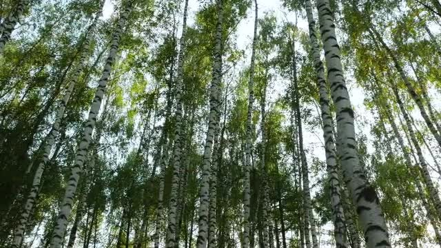 Low-angle Shot Of Birch Forest: Stock Video