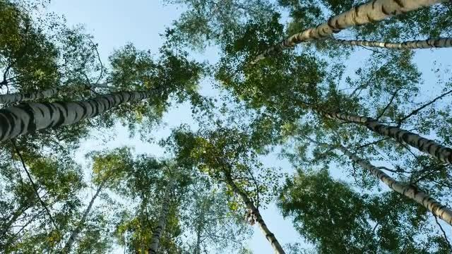 Low-angle Show Of Birch Trees: Stock Video