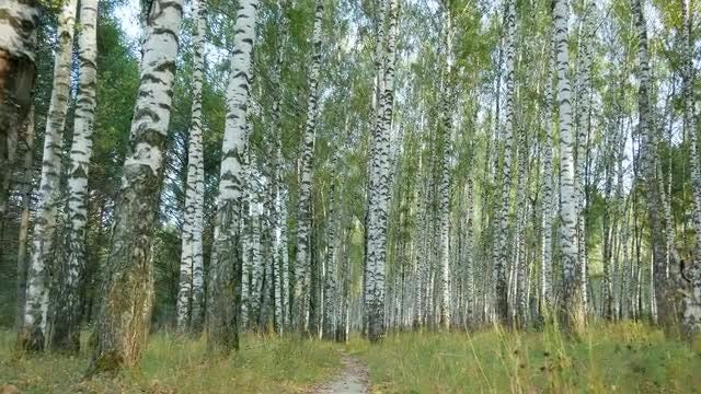 POV Shot Of Birch Trees: Stock Video
