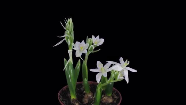 Ornithogalum Balansae Flowers Opening: Stock Video