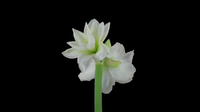 White Alfresco Amaryllis Christmas Flower: Stock Video