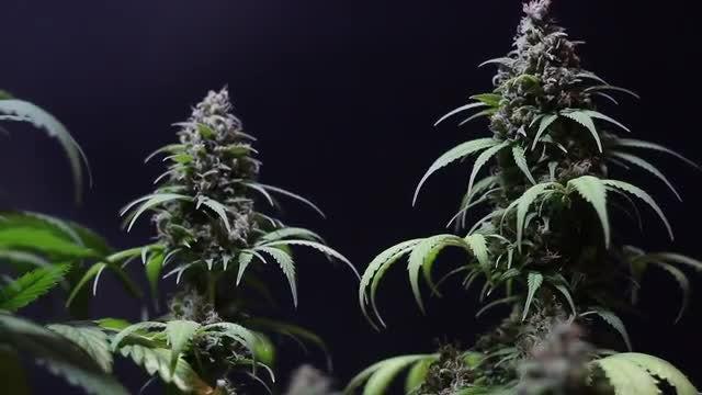 Marijuana Plants With Buds: Stock Video