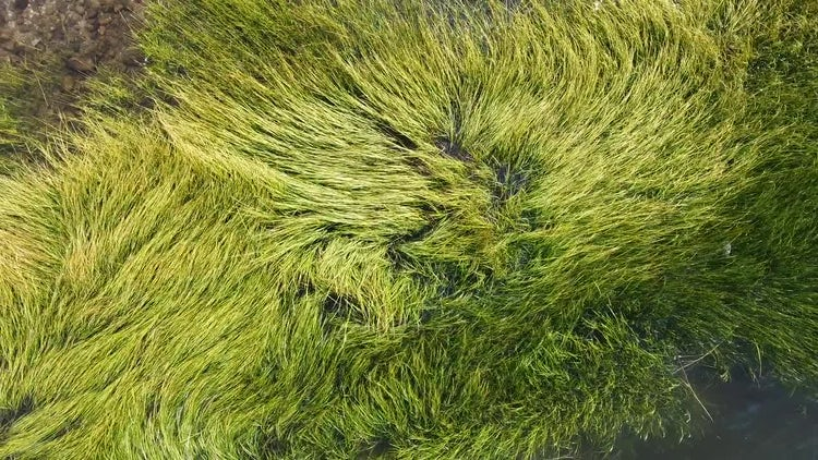 Green Grass In The Water: Stock Video