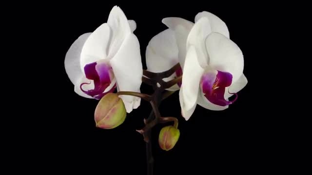 Four Open White Orchids: Stock Video