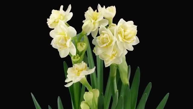 Growing Narcissus Erlicheer Flowers: Stock Video