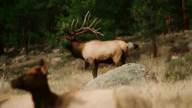 Bugling Elk In The Wild: Stock Video