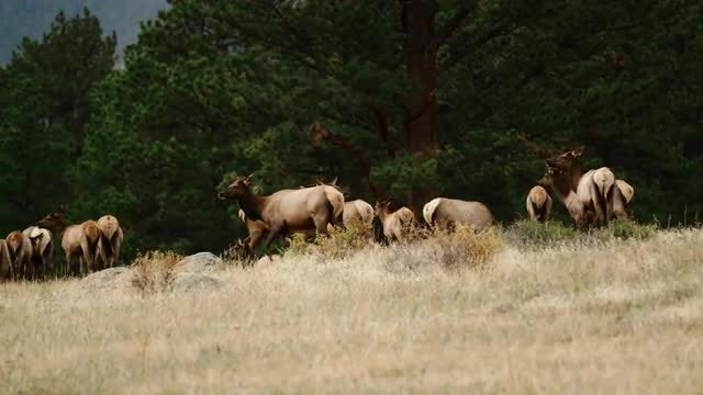 Elk Herd Feeding And Walking: Stock Video