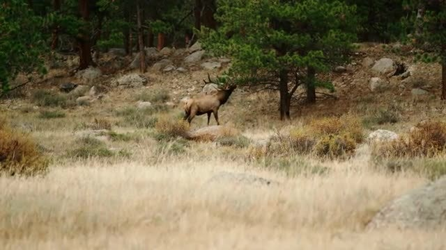 Elk Bull Marking Territory: Stock Video