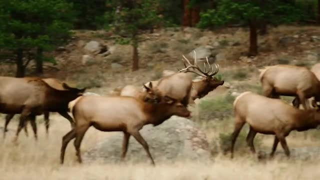 Elk Bull Herding Cows: Stock Video