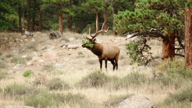 Elk With Leaves In Antlers: Stock Video