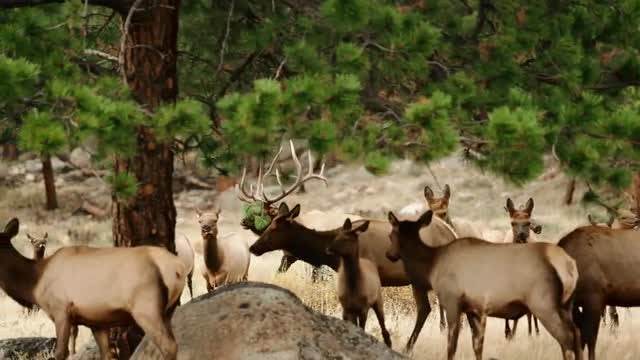Dolly Shot Of Elk Running: Stock Video