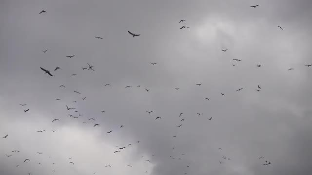 Flock Of Seagulls Flying Around: Stock Video