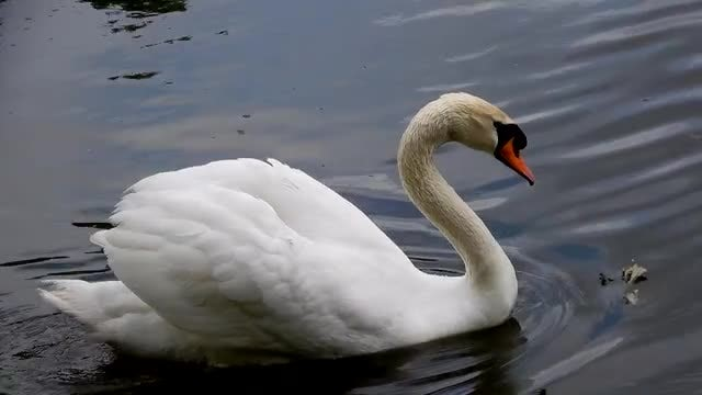 White Swan Swimming In Pond: Stock Video