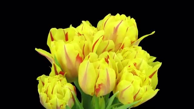 Yellow-red Tulips Growing: Stock Video