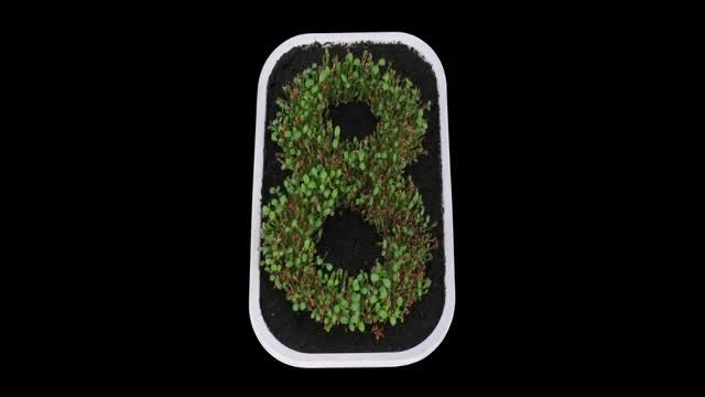 Time Lapse Of Seedlings Growing: Stock Video