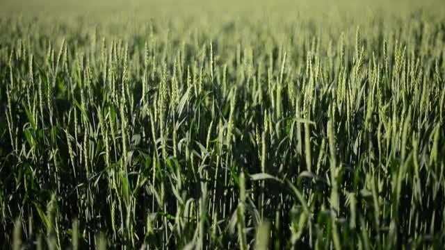 Close-up Shot Of Wheat Farm: Stock Video