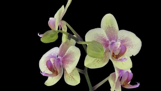 Five Orchid Butterflies Open: Stock Video