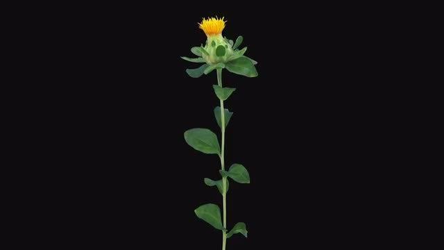 Orange Zanzibar Flower Opening: Stock Video