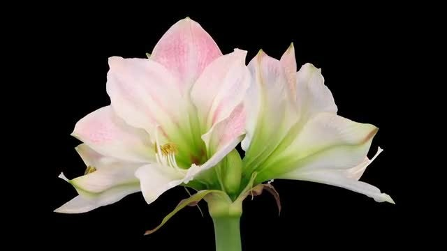 Fully Open Amaryllis Apple Blossom: Stock Video