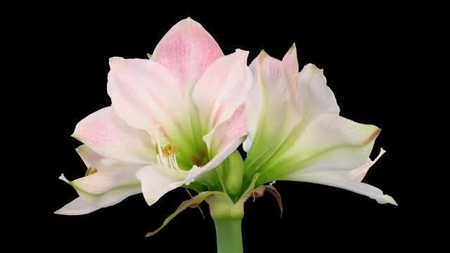 Fully Open Amaryllis Apple Blossom: Stock Video