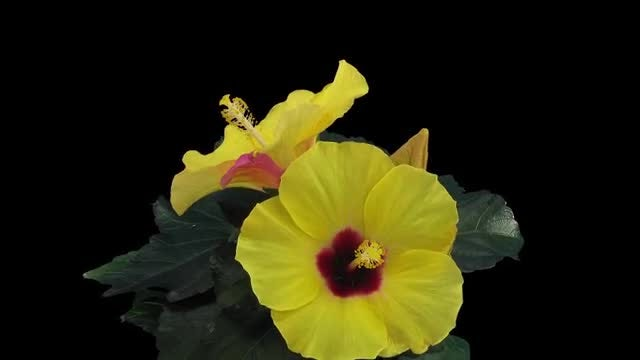 Opening And Closing Yellow Hibiscus: Stock Video