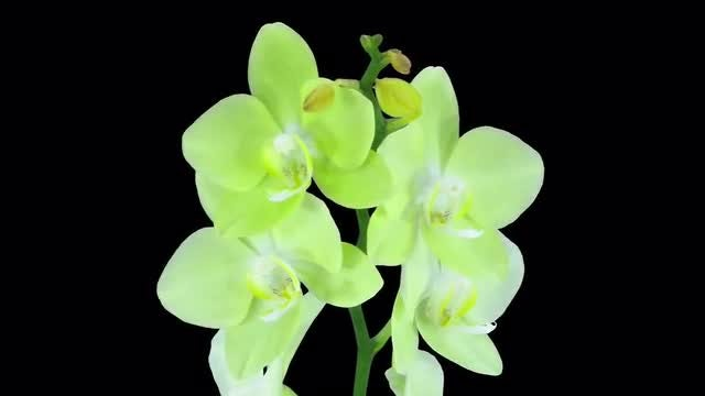 Yellow Orchids: Stock Video