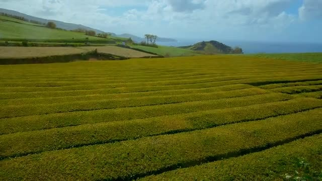 Tea Plantation In Portugal: Stock Video