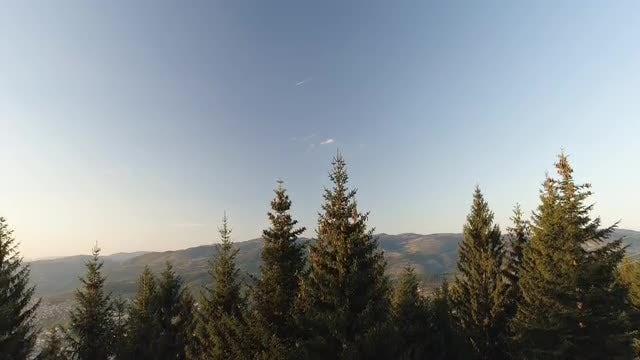 Tilting Shot Of Pine Trees: Stock Video