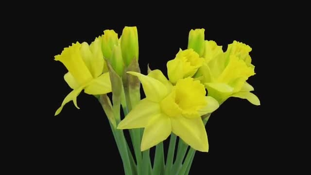 Yellow Narcissus Flowers Opening: Stock Video