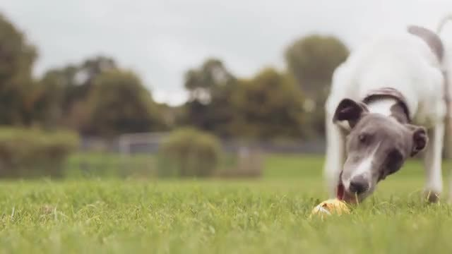 Dog Fetching Ball, Slow Motion: Stock Video