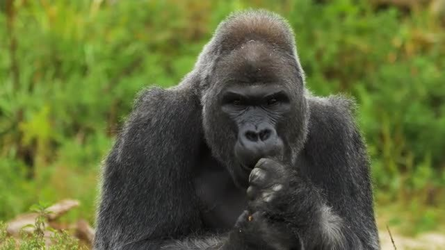 Adult Male Gorilla Feeding: Stock Video