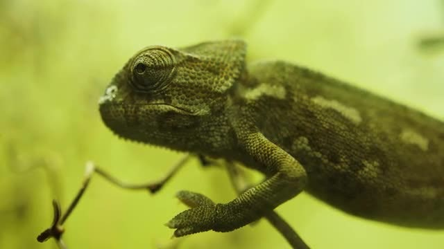 Close-up Of A Chameleon: Stock Video