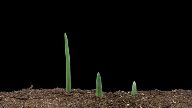 Time Lapse Of Onions Growing: Stock Video