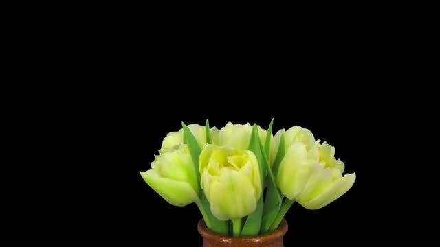 Opening Of Yellow Tulip Bouquet: Stock Video