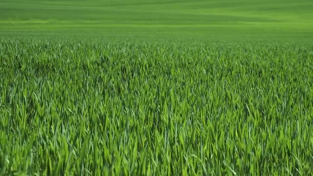 Green Wheat Field: Stock Video
