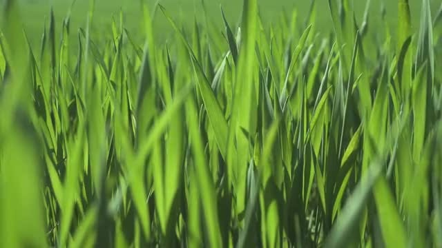 Quivering Grass In Wheat Field: Stock Video