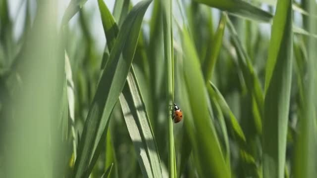 Ladybug On Green Wheat Leaf: Stock Video