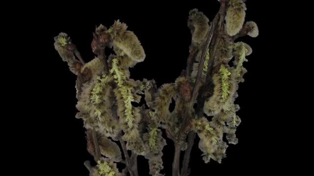 Growing Willow Catkins: Stock Video