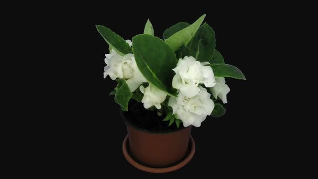 White Gloxinia Flowers Opening: Stock Video