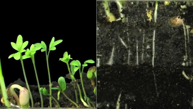 Time Lapse Of Seeds Germinating: Stock Video