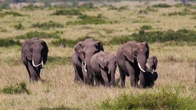 Elephants Cross The Savanna: Stock Video