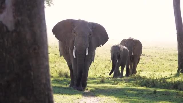Elephants Walk To The Shade: Stock Video