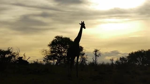 Giraffe Silhouette At Sunset: Stock Video