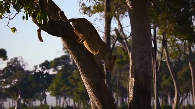 Lion Jumps Off A Tree: Stock Video