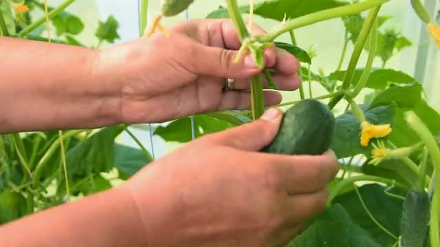 Man Plucking Cucumber From Stalk: Stock Video